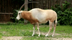 Oryx (Scimitar-horned oryx gazella) Stock Footage
