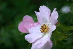 Dew on dog-rose Stock Footage