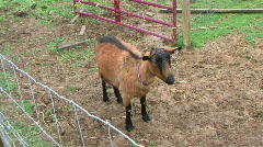 Slow Zoom-In On A Standing Goat - At Rural Ohio Farm - stock footage