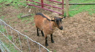 Stock Video Footage of Slow Zoom-In On A Standing Goat - At Rural Ohio Farm