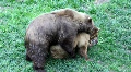 Bears making love and fighting HD Footage