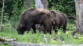 Wisent 2573 Footage