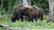 Wisent 2573 Stock Footage