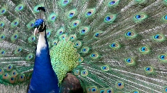 Peacock 2795  (close up) Stock Footage