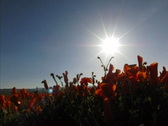Stock Video Footage of Flowers Poppy HS 05 Tracking Slow Motion