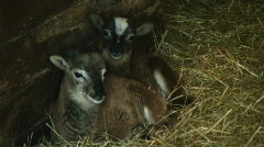 Two Sleepy Baby Sheep Resting in Barn - At Rural Ohio Farm - stock footage