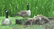 Geese with Goslings Stock Footage