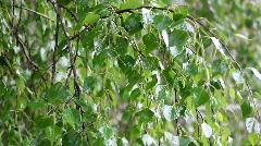 Birch tree under rain Stock Footage