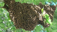 Honeybees in large swarm Stock Footage