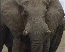 Elephant Head Stock Footage