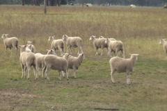 AUSTRALIA-SHEEP-RUN 1 Stock Footage