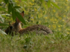 Bunny Rabbit Nibbles Grass Stock Footage