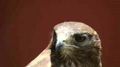 Buzzard hawk portrait Stock Footage