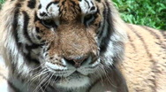 Siberian tiger relaxing,close-up Stock Footage