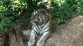 Siberian tiger relaxing in forest Footage