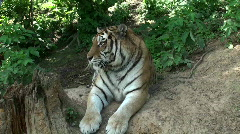 Siberian tiger relaxing in forest Stock Footage