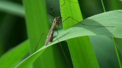 The marsh mosquito on a reed - stock footage