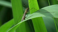 The marsh mosquito on a reed Stock Footage
