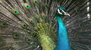 Texture peacock Stock Footage