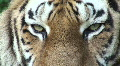 Siberian tiger relaxing,close-up Footage