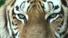 Siberian tiger relaxing,close-up - stock footage