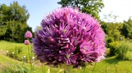 Allium and Bumble-Bee 3118 Stock Footage