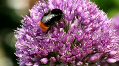 Allium and Bumble-Bee 3115 Stock Footage