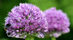 Allium and Bumble-Bee 3102 Stock Footage