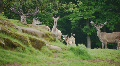 HD1080p Red Deer in the Forest Footage