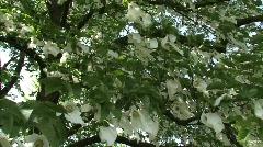 dovetree Davidia involucrata Handkerchief Tree  - stock footage