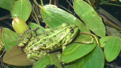 Green frog hidden lily Stock Footage