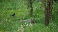 HD1080p Gray Wolf walking in forest Footage
