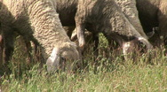 Stock Video Footage of Sheep grazing