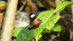 Heliconid butterfly drinking from a leaf surface Stock Footage