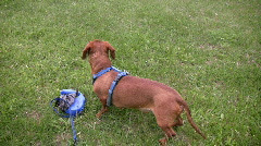 Miniature Dachshund sits in grass beside leash Stock Footage