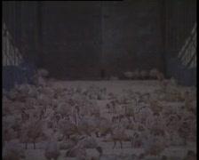 Turkey Poults in a Barn. Stock Footage