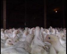 Barn reared chicken Stock Footage
