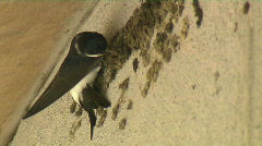 House Martin at work - stock footage