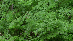 Rain On Japanese Cedars Stock Footage