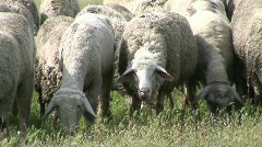 Sheep on Pasture Stock Footage