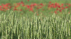Wheat and Poppy Stock Footage