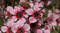 Pink New Zealand Tea tree and bee - stock footage
