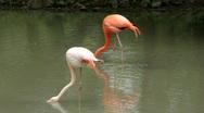 Pink flamingo Stock Footage