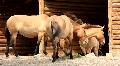 Przewalski horses (Equus caballus) Footage