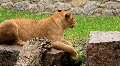 African lioness HD Footage