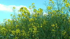 Rapeseed against Sky Background Stock Footage
