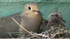 Dove Mother And Baby Stock Footage