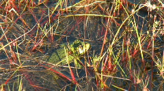 Frog in the pond then dives Stock Footage