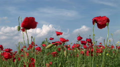 Poppy in the Field Stock Footage
