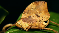 Leaf mimic katydid Stock Footage